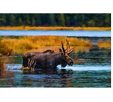 Algonquin Park Moose Photographic Print
