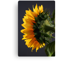Sunflower in studio 2 Canvas Print