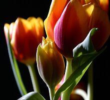 Tulips in studio by fotorobs