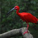 Scarlet Ibis by Peter Hammer