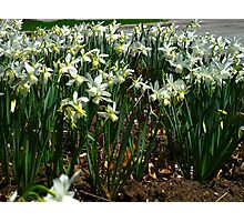 Daffodil party Photographic Print