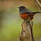 SPOTTED TOWHEE  by Sandy Stewart