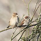 sparrows on wild rose bush in our backyard by SusieG