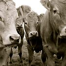The Herd (Limousin Cattle) by Lou Wilson