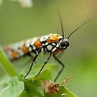 Moth on Basil Flowers by Dan Lauf