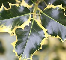 Trio Holly Leaves by Rumyana Whitcher