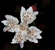 Southern Cross (Xanthosia rotundifolia) by Colin White