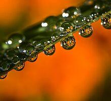 Marigolds trapped in raindrops by Celeste Mookherjee
