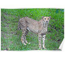 Cheetah at The Singapore Zoo. (2) Poster