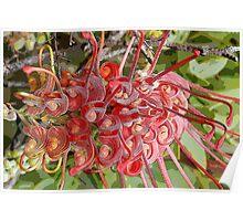 Fuchsia Grevillea (Grevillea bipinnatifida) Poster
