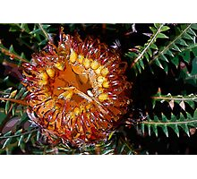 Couch honeypot (Banksia nivea) Photographic Print