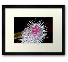 Pink Poker (Grevillea petrophiloides) Framed Print
