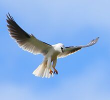 Hovering  - Black-shouldered Kite by Haggiswonderdog