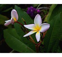 Plumeria opening Photographic Print