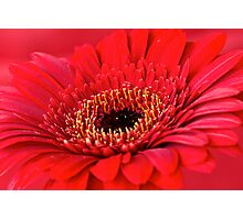 Red Gerbera Photographic Print