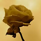 Golden Rose by Lou Wilson