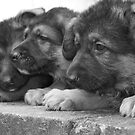 The Litter- German Shepherd Puppies. by Lou Wilson