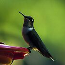 Female Ruby-Throated Hummingbird by Kim McClain Gregal