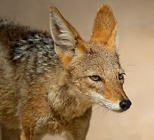 Black Back Jackal by Rashid Latiff