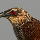 White Browed Coucal by Rashid Latiff