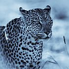Leopard Cyanotype by Rashid Latiff