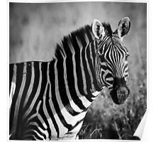 Grants Zebra Poster