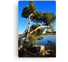 Cedar Tree On Coast Canvas Print