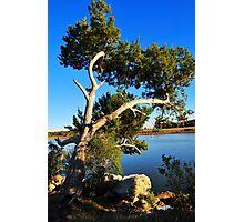 Cedar Tree On Coast Photographic Print