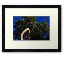 Cedar Tree Close Up Framed Print