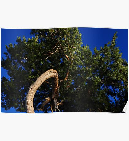 Cedar Tree Close Up Poster
