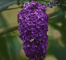 Butterfly Bush by Gail Falcon
