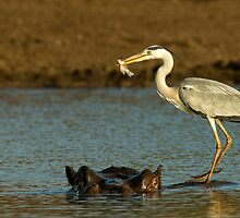 The Heron and The Hippo by Rashid Latiff