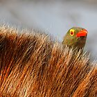 Peek-a-boo by Rashid Latiff