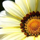 White Gazania by Rob Fenn