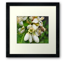 Orange Blossom with Bee  Framed Print