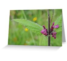 Hedge Woundwort Greeting Card