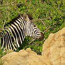Zebra by LivWildlife