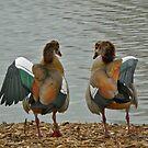 A pair of ducks by howardcar