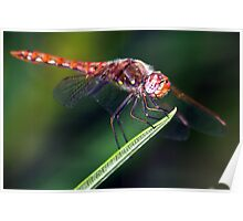 Variegated Meadowhawk Dragonfly Poster