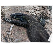 Lace Monitor at Mount Cannibal Poster