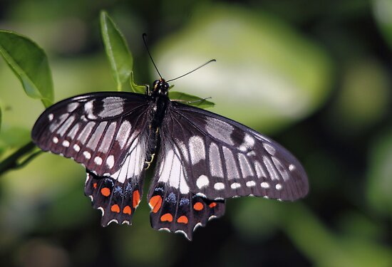 Beautiful Butterfly by yolanda