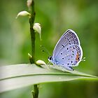 Spotted Wing by David Lamb