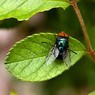 Blowfly On A Leaf by reflector