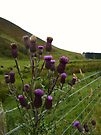 Jaggy Thistles ! by dgscotland