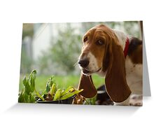 Guilty Basset Hound Greeting Card