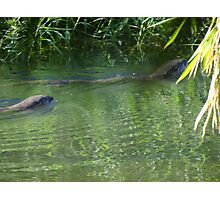 Otters in the tropical zone - Nutrias en la zona tropical Photographic Print