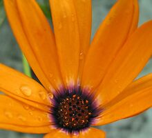 Orange daisy by Jeanne Horak-Druiff