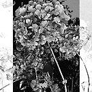 Hydrangea by anniek1947