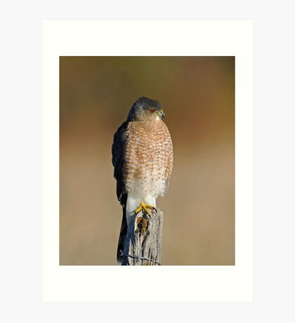 Sharp-shinned Hawk Art Print