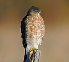 Sharp-shinned Hawk by photosbyjoe